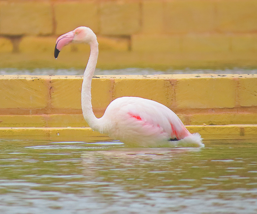 A visiting Flamingo at Salina