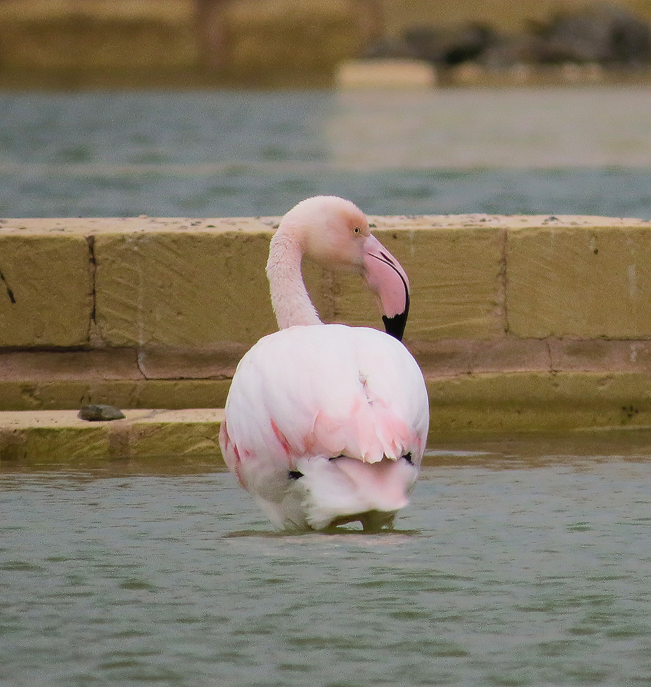 A pink Flamingo, a rare visitor to Malta