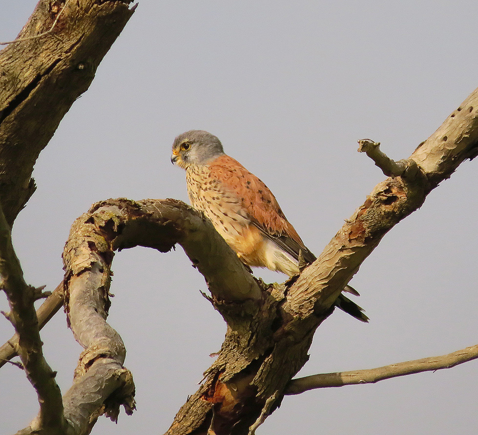 An attentive Kestrel studies its surroundings