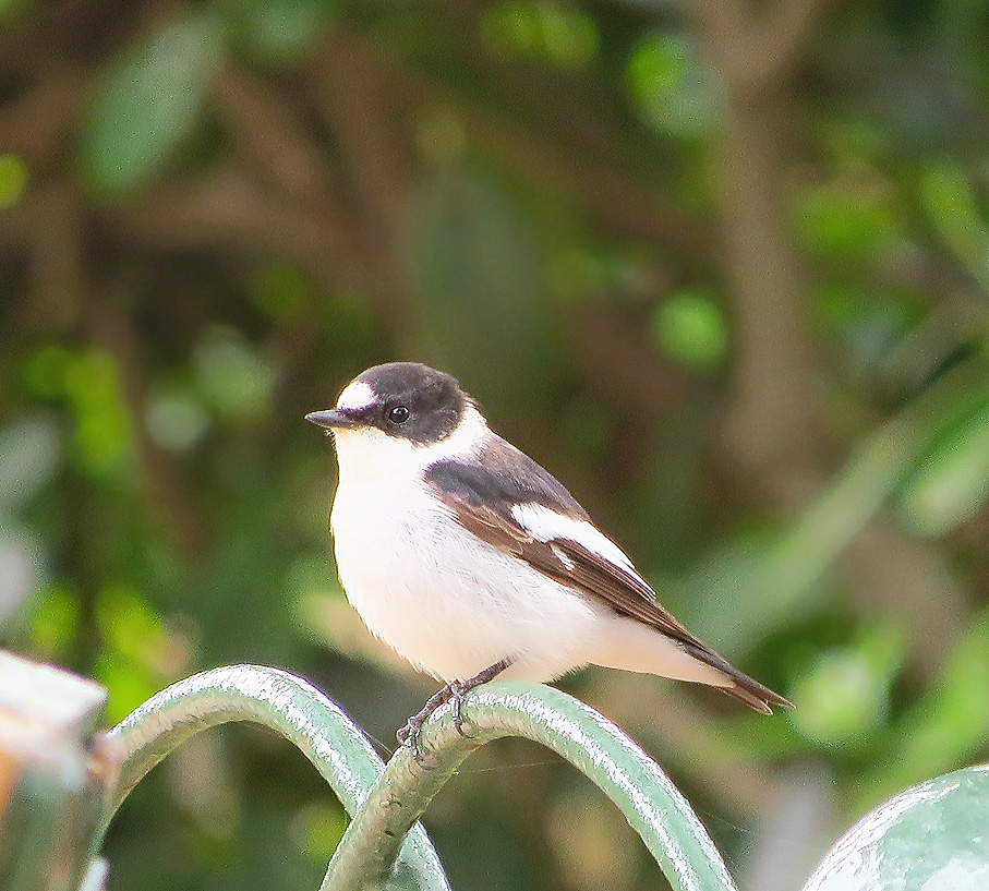 Collared Flycatcher at San Anton Gardens
