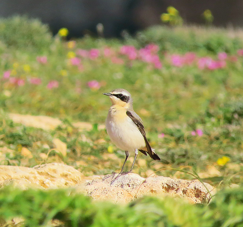 Northern Wheatear at Majjistral Park
